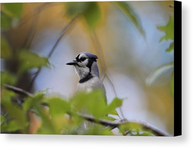 Bluejay In Tree Canvas Print featuring the photograph Out On A Limb by David Barker