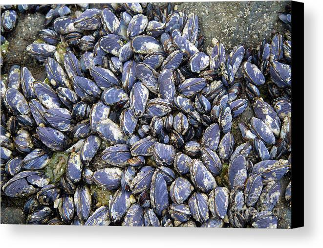 California Mussel Canvas Print featuring the photograph Pacific Blue Mussels by Bruce Block