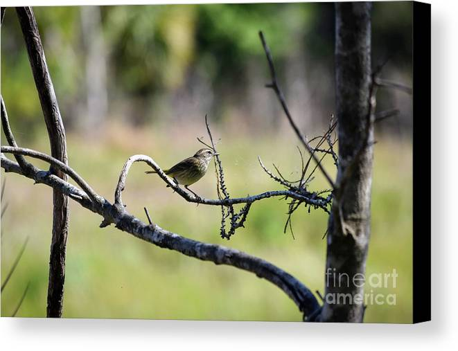 Palm Warbler Greetings Canvas Print featuring the photograph Palm Warbler Greetings by William Tasker