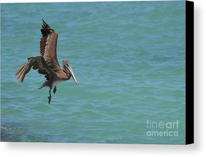 Pelican Canvas Print featuring the photograph Pelican Contemplating A Water Landing In Aruba by DejaVu Designs