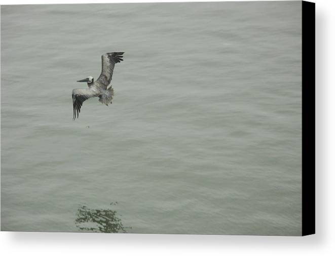 Bird Canvas Print featuring the photograph Pelican by Dean Corbin