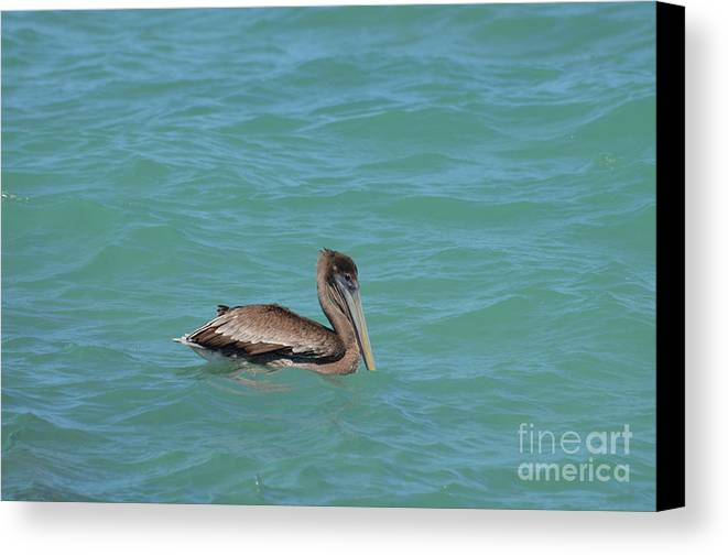 Pelican Canvas Print featuring the photograph Pelican Floating In The Tropical Waters In Aruba by DejaVu Designs
