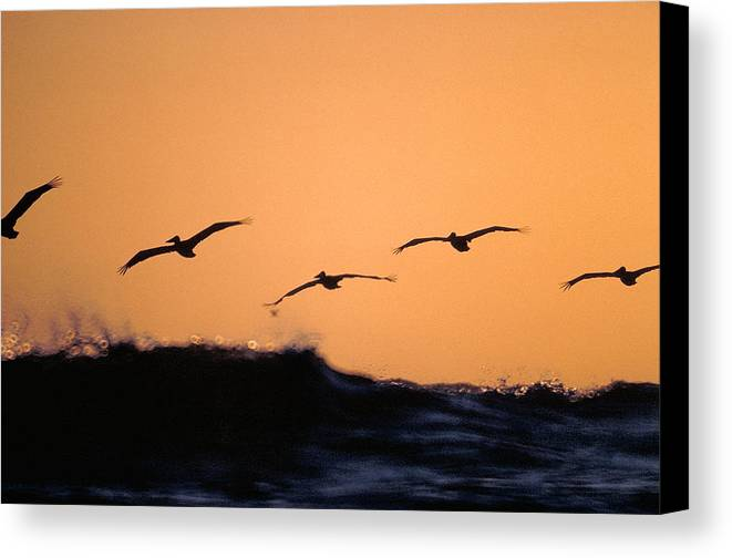 Pelicans Canvas Print featuring the photograph Pelicans Over The Pacific by Michael Mogensen