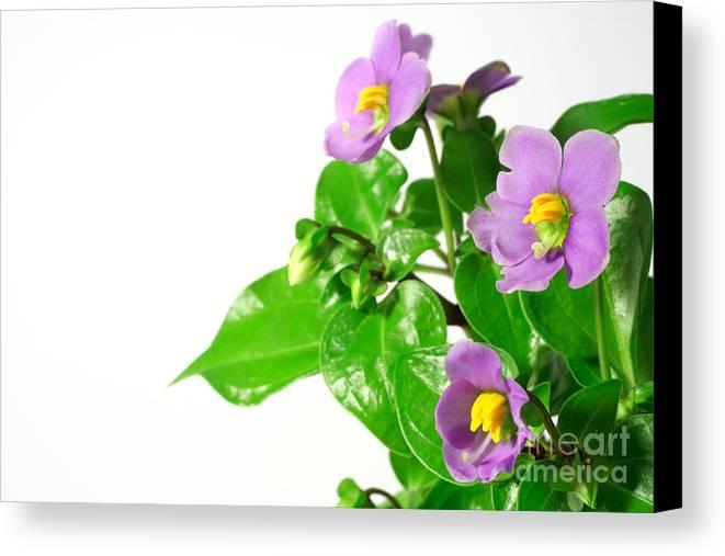 Closeup Canvas Print featuring the photograph Persian Violets by Gaspar Avila