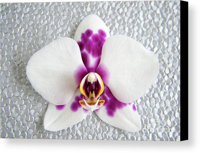 Nature Canvas Print featuring the photograph Phalaenopsis Yu Pin Panda by Julia Hiebaum