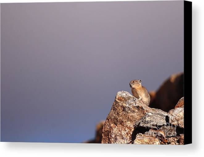 Pika Canvas Print featuring the photograph Pika Perched High Among Stormy Skies by Max Allen