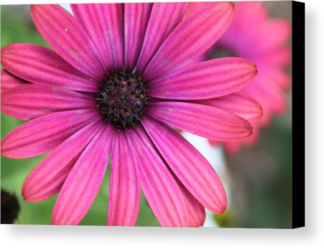 Daisy Canvas Print featuring the photograph Pink Daisy by Lauri Novak