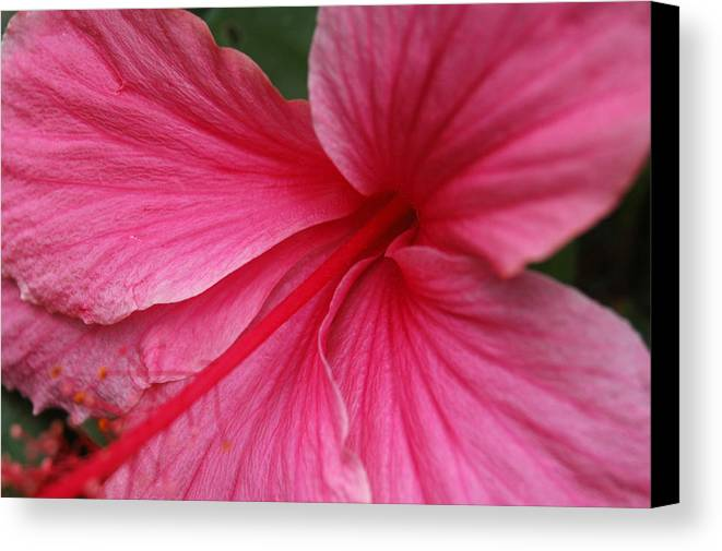 Pink Canvas Print featuring the photograph Pink Hibiscus by Kathy Schumann