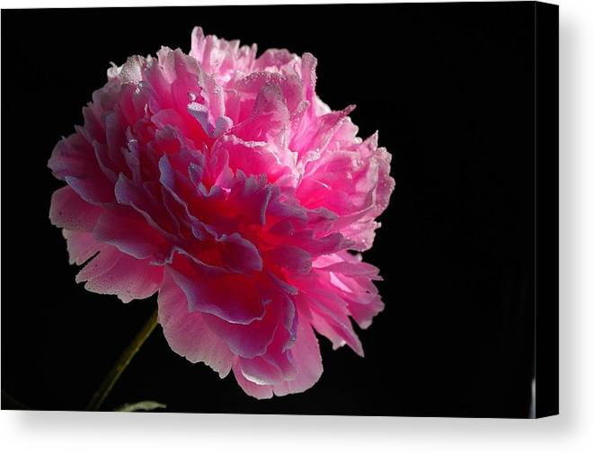 Microcosm Canvas Print featuring the photograph Pink Peony On A Black Background by Yuri Hope
