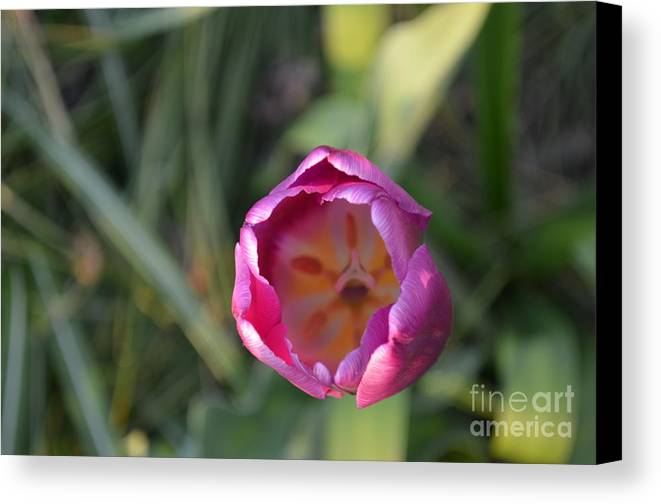 Flower Canvas Print featuring the photograph Pink Tulip by Des Brownlie