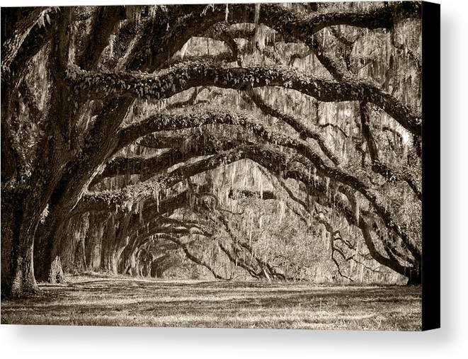 Live Oak Canvas Print featuring the photograph Plantation Drive Live Oaks by Dustin K Ryan