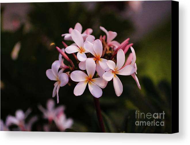 Plumeria Canvas Print featuring the photograph Plumeria Flowers by Amber D Hathaway Photography