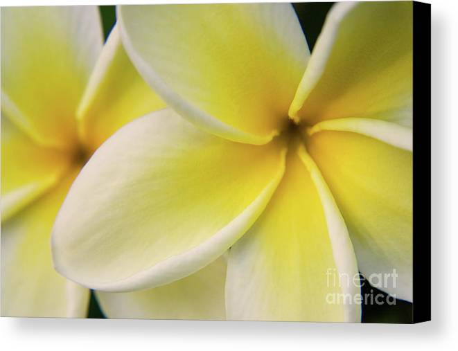 Nature Canvas Print featuring the photograph Plumeria Flowers by Julia Hiebaum