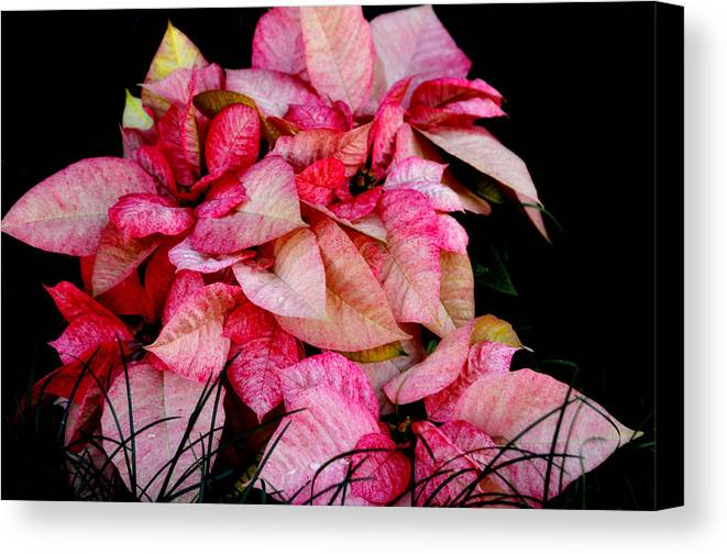 Poinsettia Canvas Print featuring the photograph Poinsettia by Lyle Huisken