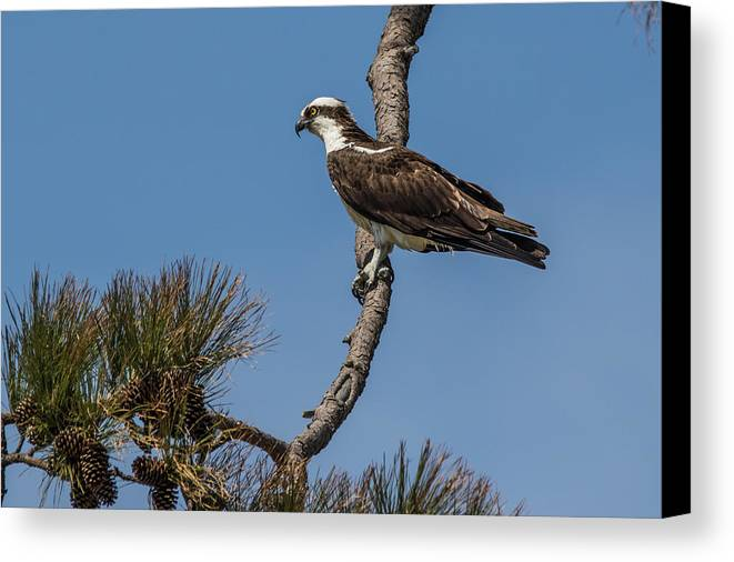 Osprey Canvas Print featuring the photograph Posing Osprey by Jeff Carlson
