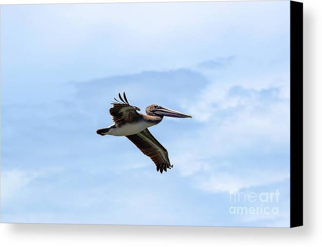 Brown Pelican Canvas Print featuring the photograph Power Glide by William Tasker