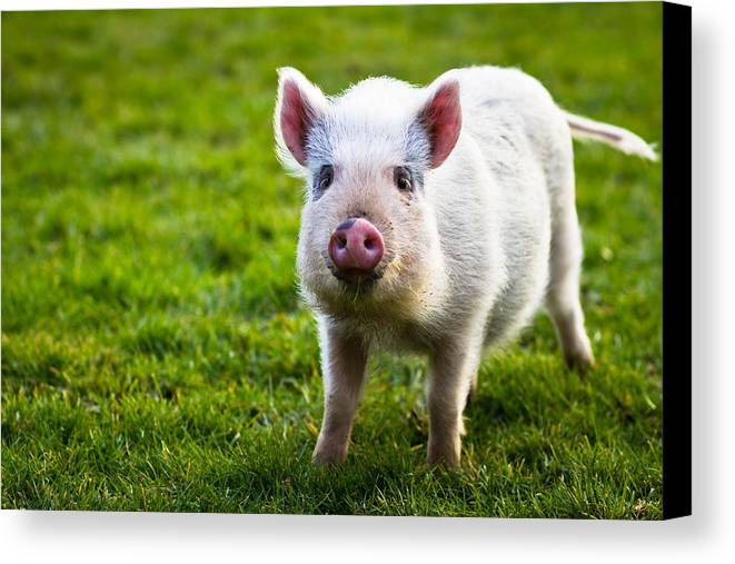 Funny Canvas Print featuring the photograph Precocious Piglet by Justin Albrecht