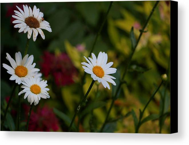 Daisies Canvas Print featuring the photograph Pretty And Everlasting by Debbie Nobile