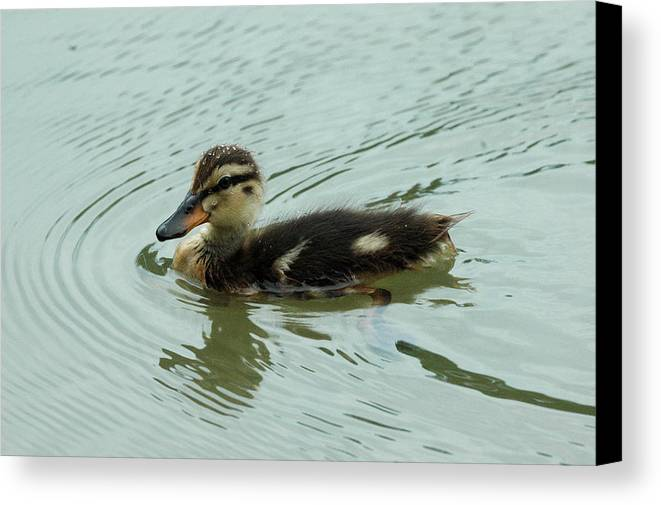 Bird Canvas Print featuring the photograph Pretty Baby by Teresa Blanton