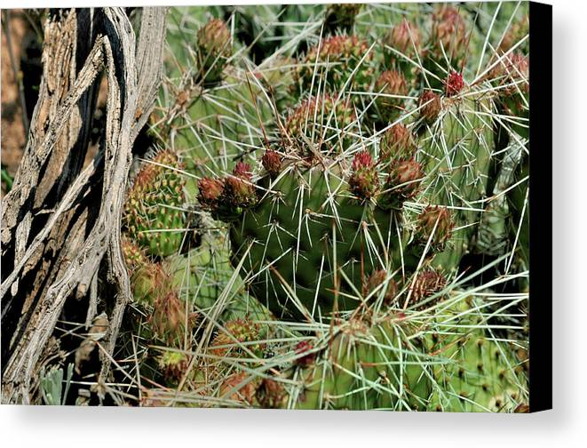 Landscape Canvas Print featuring the photograph Prickly Pear Revival by Ron Cline