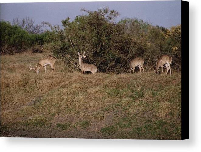 Deer Canvas Print featuring the photograph Private Ranch 3 by Wendell Baggett