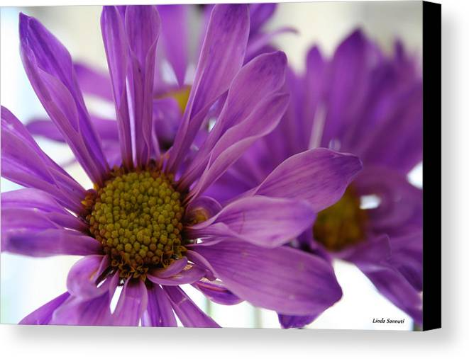 Flowers Purple Macro Daisy Spring Yellow Digital Photography Canvas Print featuring the photograph Purple Delight by Linda Sannuti