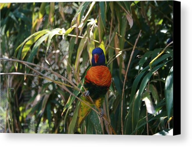 Rainbow Lorikeete Canvas Print featuring the photograph Rainbow Lorikeete by Janet Hall