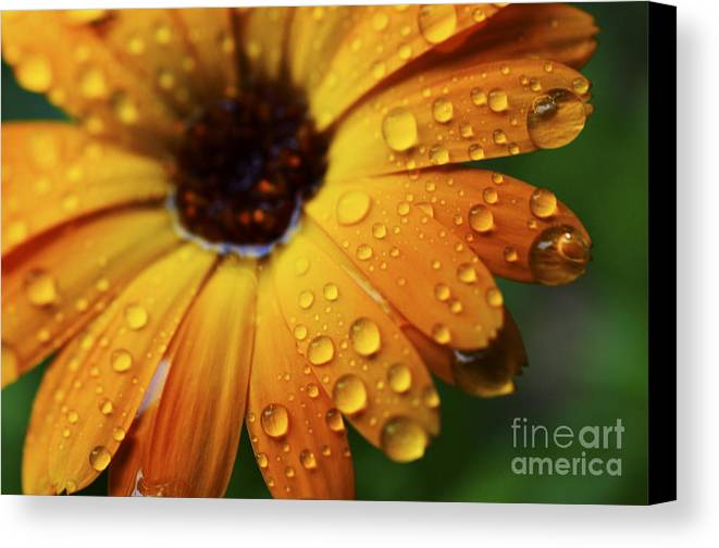 Orange Canvas Print featuring the photograph Rainy Day Daisy by Thomas R Fletcher