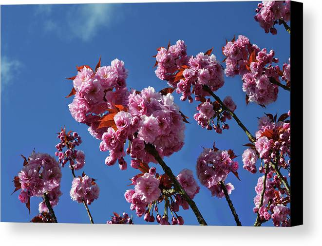Pink Blossom Canvas Print featuring the photograph Reaching For The Blue Sky by Ludmila SHUMILOVA