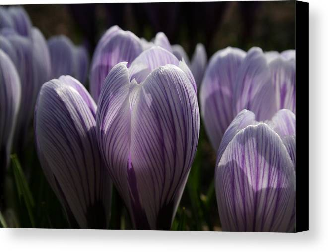 Flowers Canvas Print featuring the photograph Reaching For The Light by Jeff Porter