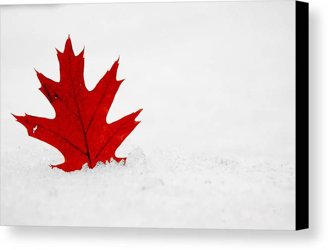 Maple Leaf Canvas Print featuring the photograph Red On White by Evia Nugrahani Koos