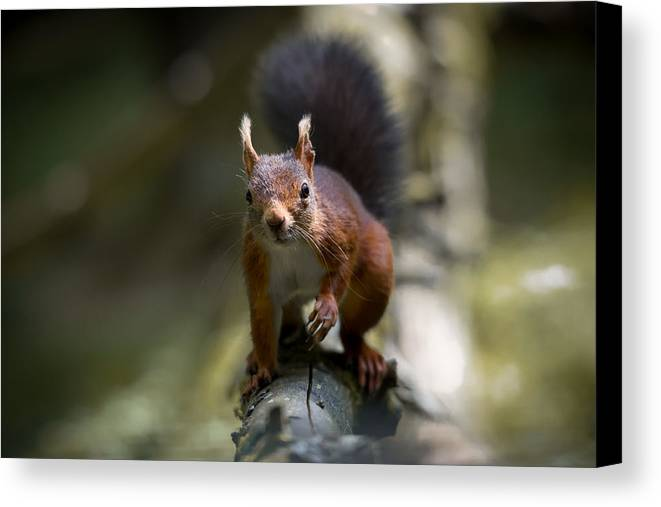 Outdoor Canvas Print featuring the photograph Red Squirrel  by Phil Scarlett