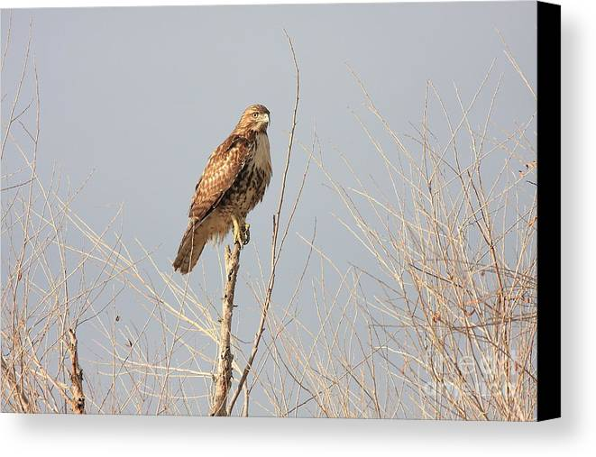 Red Tail Hawk Canvas Print featuring the photograph Red Tailed Hawk 20100101-5 by Wingsdomain Art and Photography
