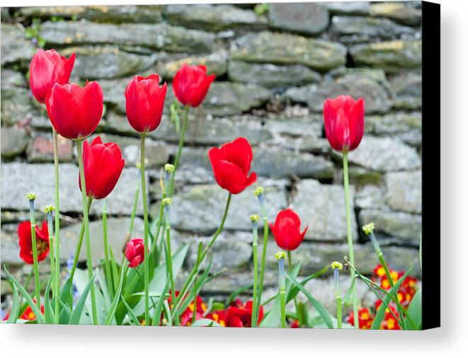 Red Canvas Print featuring the photograph Red Tulips by Helen Northcott