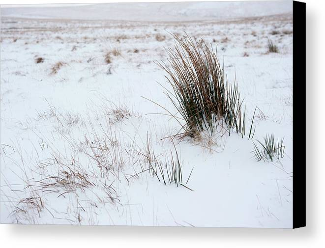 Reeds Canvas Print featuring the photograph Reeds And Snow by Helen Northcott