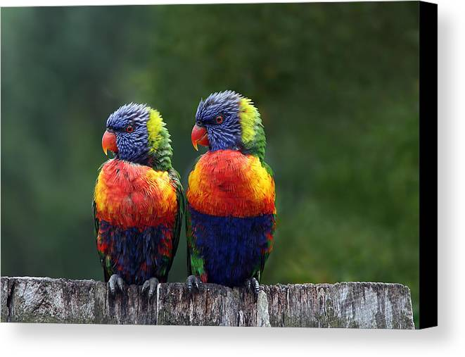 Lorikeets Canvas Print featuring the photograph Rendezvous In The Rain by Lesley Smitheringale