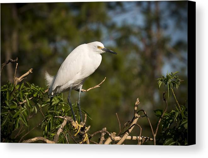 Snowy Egret Canvas Print featuring the photograph Resting Snowy Egret by Chad Davis