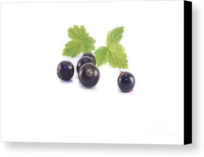 Black Canvas Print featuring the photograph Ribes Nigrum Isolated by D R