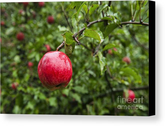 Maine Canvas Print featuring the photograph Ripe Apples. by John Greim