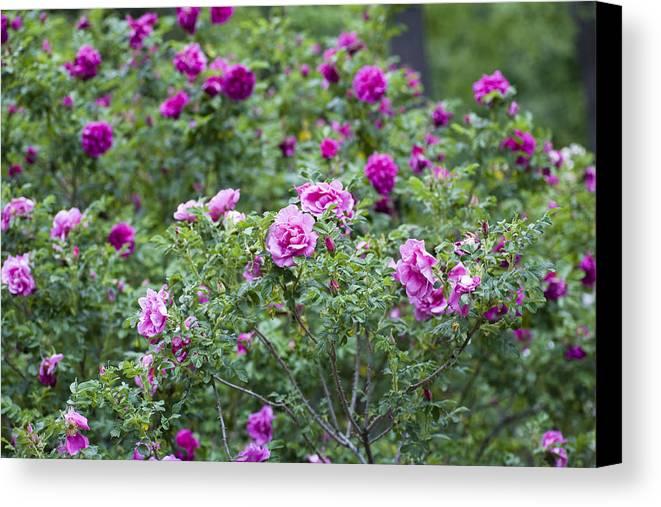 Garden Canvas Print featuring the photograph Rose Garden by Frank Tschakert