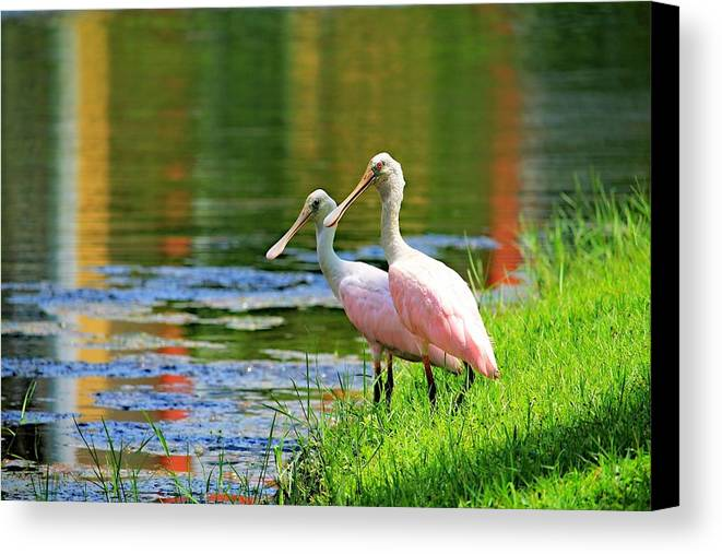 Birds Canvas Print featuring the photograph Roseate Spoonbills by Vicki Dreher