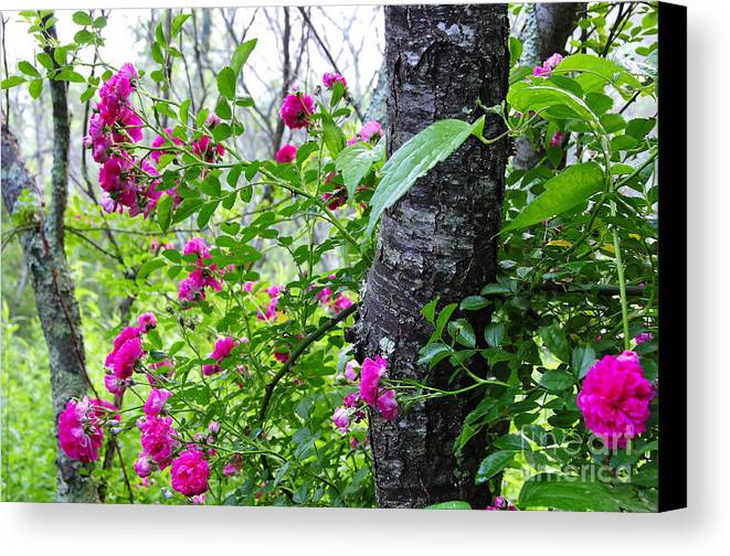 Wild Rose Canvas Print featuring the photograph Roses And Mist by Thomas R Fletcher