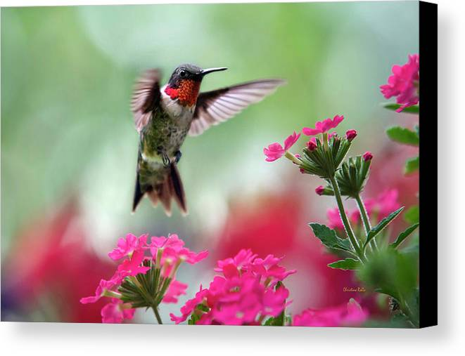 Hummingbird Canvas Print featuring the photograph Ruby Garden Jewel by Christina Rollo