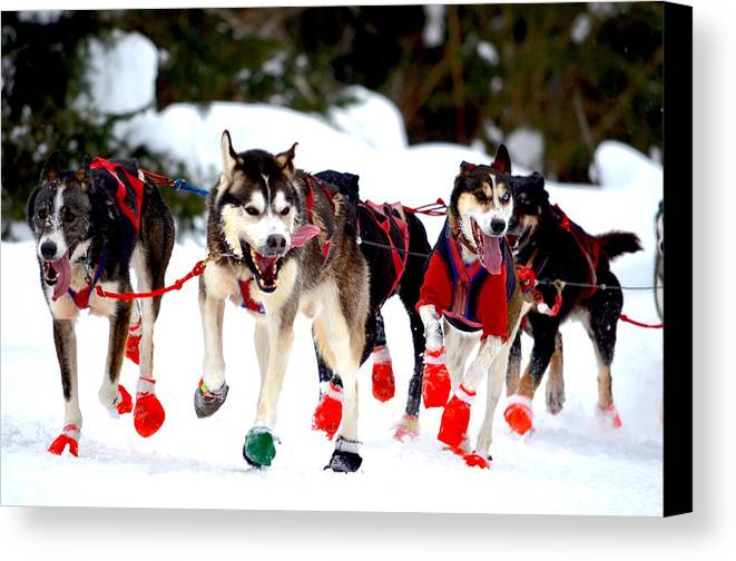 Mushers Canvas Print featuring the photograph Running Up The Trail by Hella Buchheim