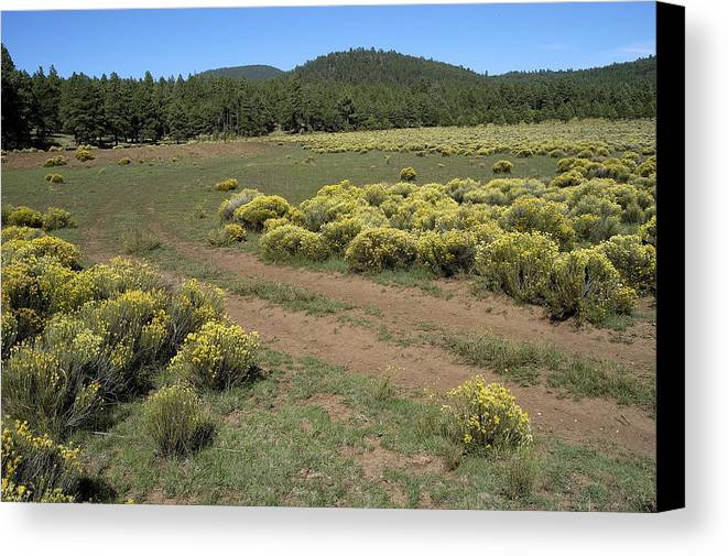 Sage Brush Canvas Print featuring the photograph Sage In Bloom - Flagstaff by D'Arcy Evans