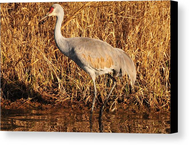 Photography Canvas Print featuring the photograph Sandhill Crane by Joel Brady-Power