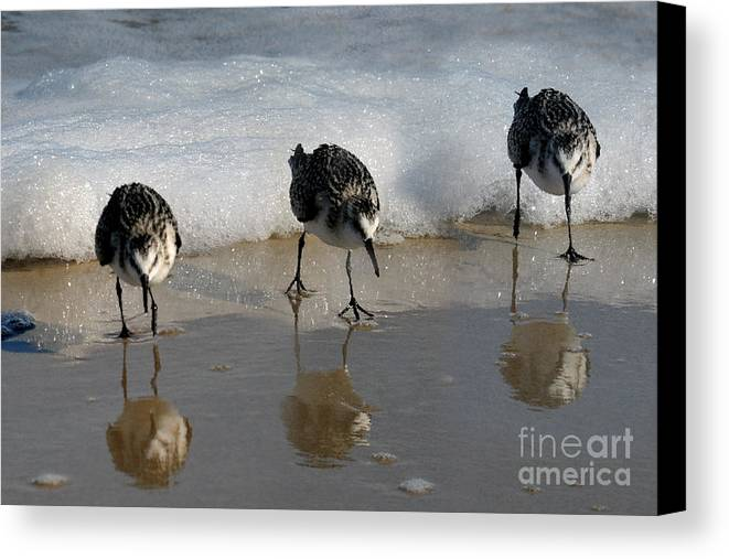 Sandpipers Canvas Print featuring the photograph Sandpipers Feeding by Dan Friend