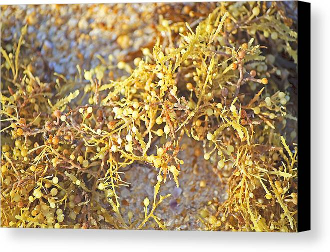 Seaweed Canvas Print featuring the photograph Sargassum Seaweed by Kenneth Albin