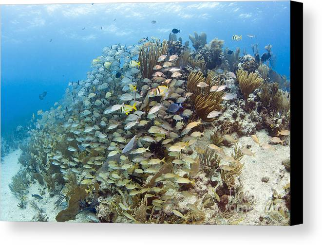Porkfish Canvas Print featuring the photograph Schools Of Grunts, Snappers, Tangs by Karen Doody