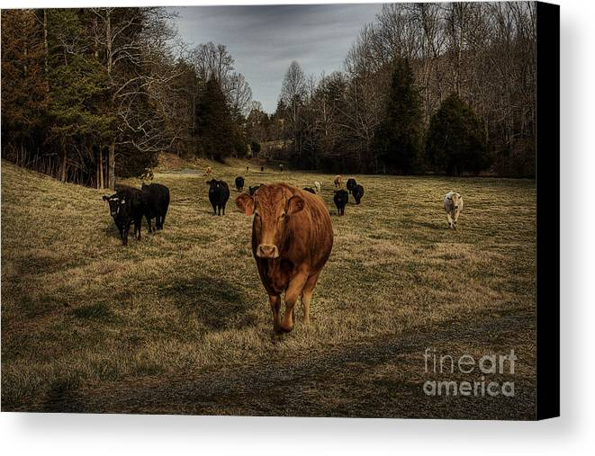 Scotopic Canvas Print featuring the photograph Scotopic Vision 9 - Cows Come Home by Pete Hellmann